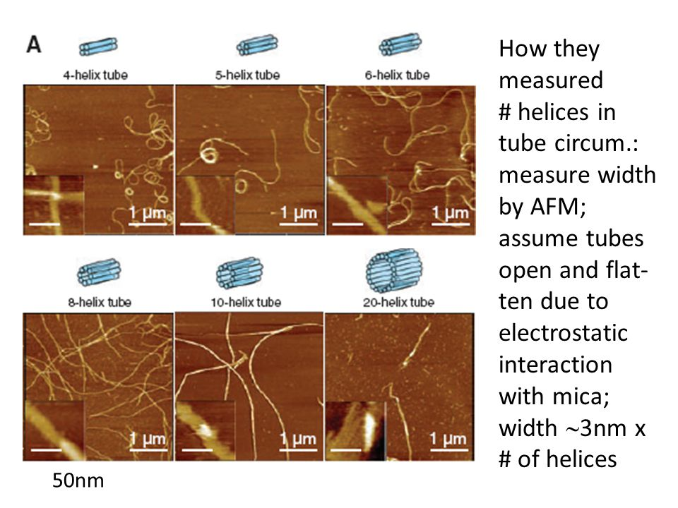 How they measured # helices in tube circum.: measure width by AFM;