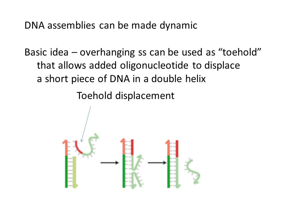 DNA assemblies can be made dynamic