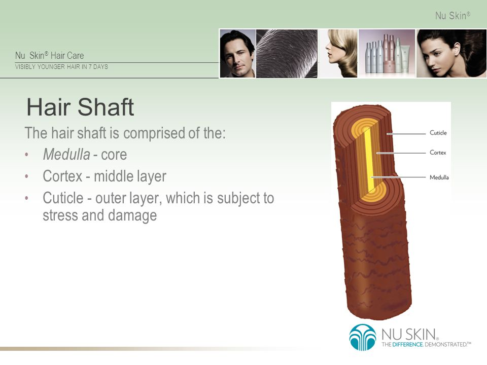 Hair Shaft The hair shaft is comprised of the: Medulla - core
