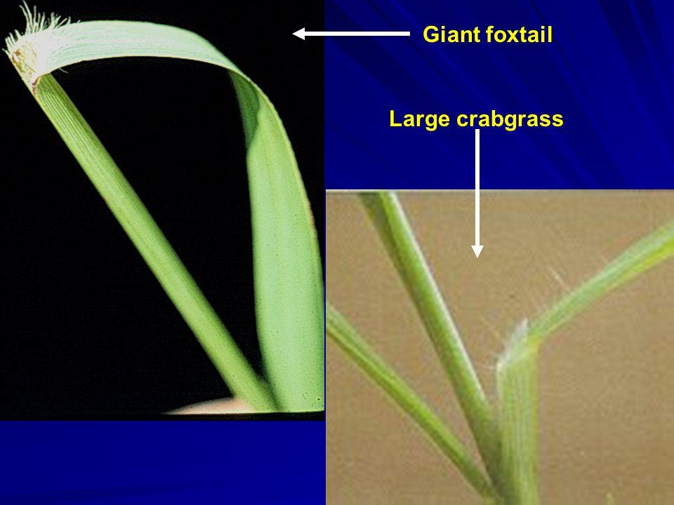 Giant foxtail Large crabgrass