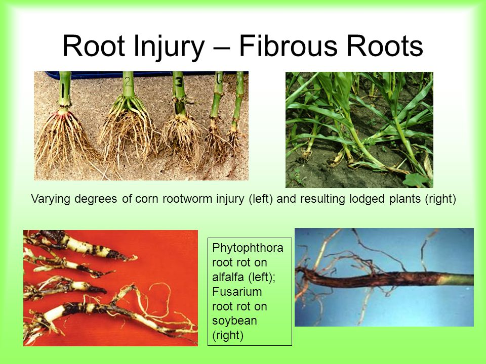 Root Injury – Fibrous Roots