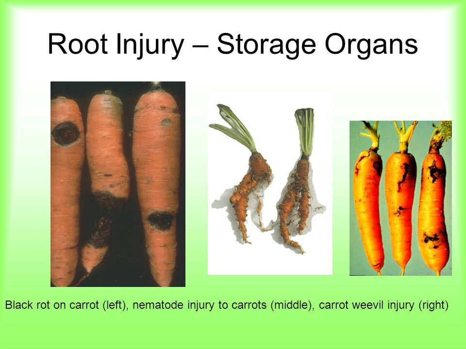 Root Injury – Storage Organs