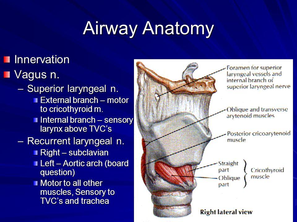 Airway Anatomy Innervation Vagus n. Superior laryngeal n.