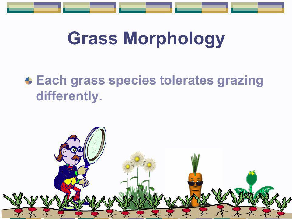 Grass Morphology Each grass species tolerates grazing differently.