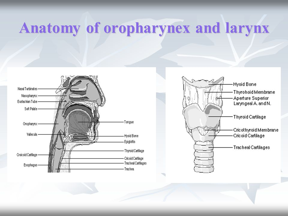 Anatomy of oropharynex and larynx