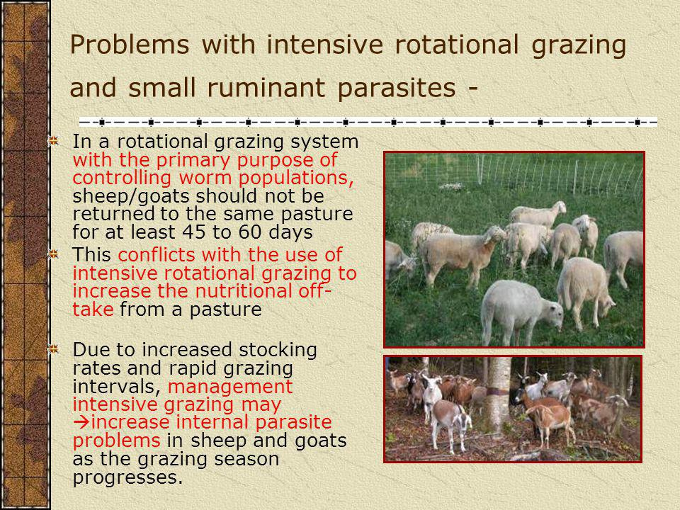 Problems with intensive rotational grazing and small ruminant parasites -