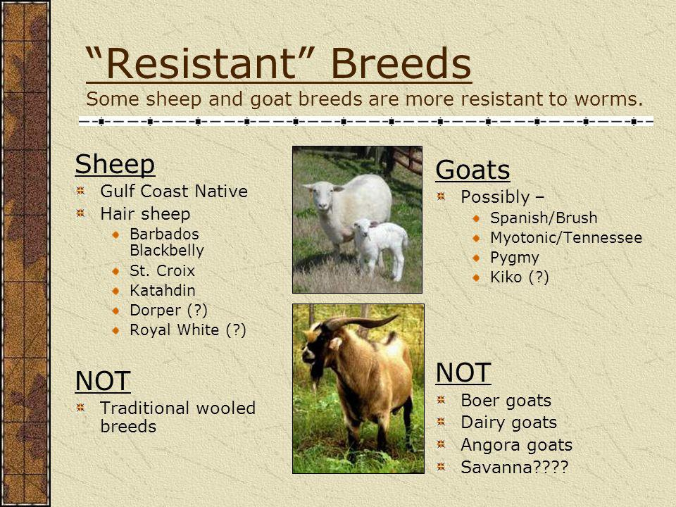 Resistant Breeds Some sheep and goat breeds are more resistant to worms.