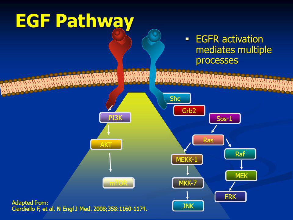 EGF Pathway EGFR activation mediates multiple processes Shc PI3K Grb2