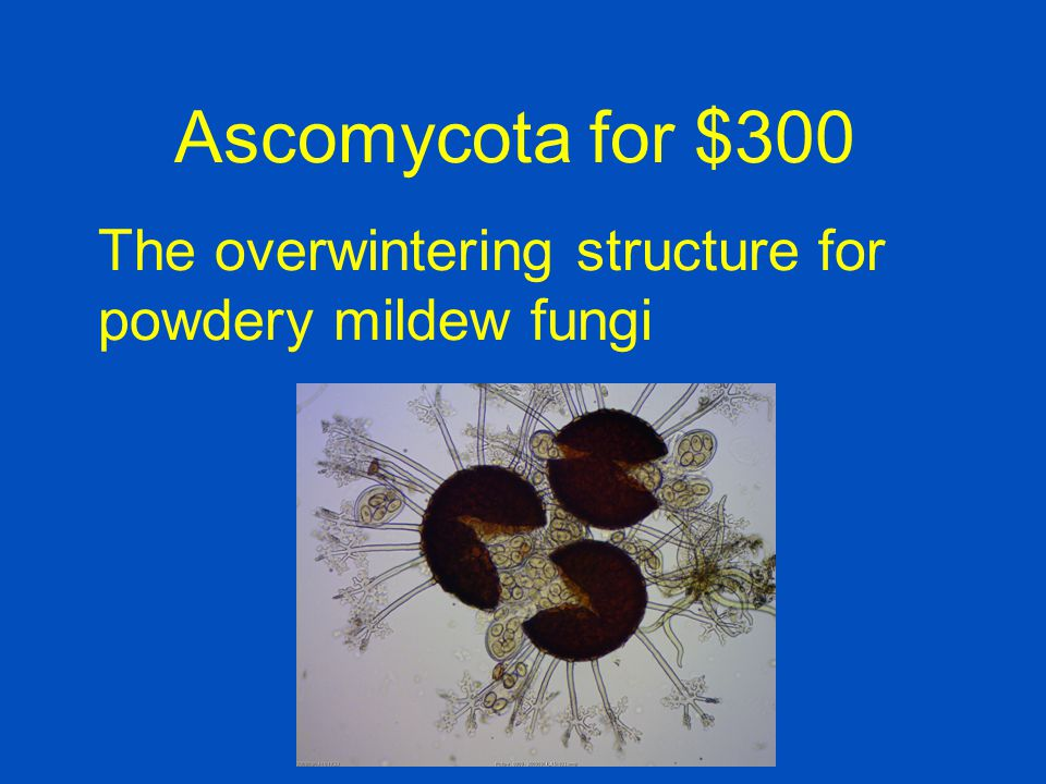 Ascomycota for $300 The overwintering structure for powdery mildew fungi