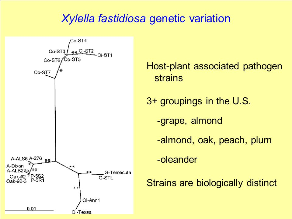 Xylella fastidiosa genetic variation