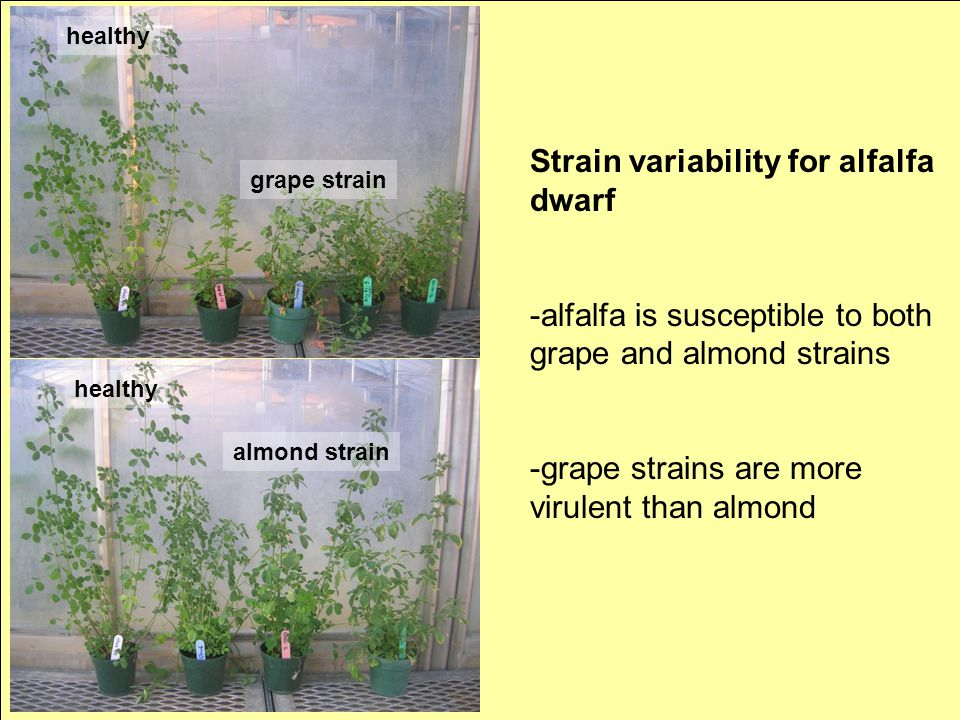 Strain variability for alfalfa dwarf