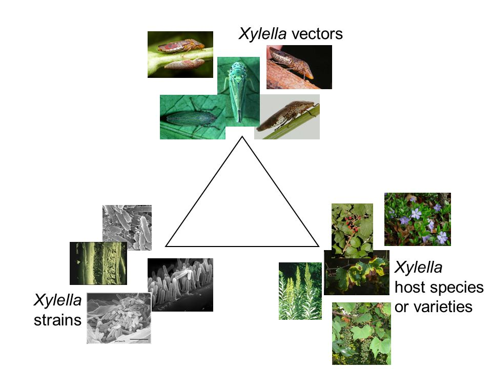 Xylella vectors Xylella host species or varieties Xylella strains