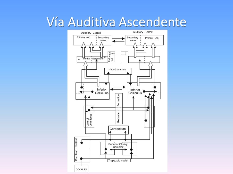 Vía Auditiva Ascendente
