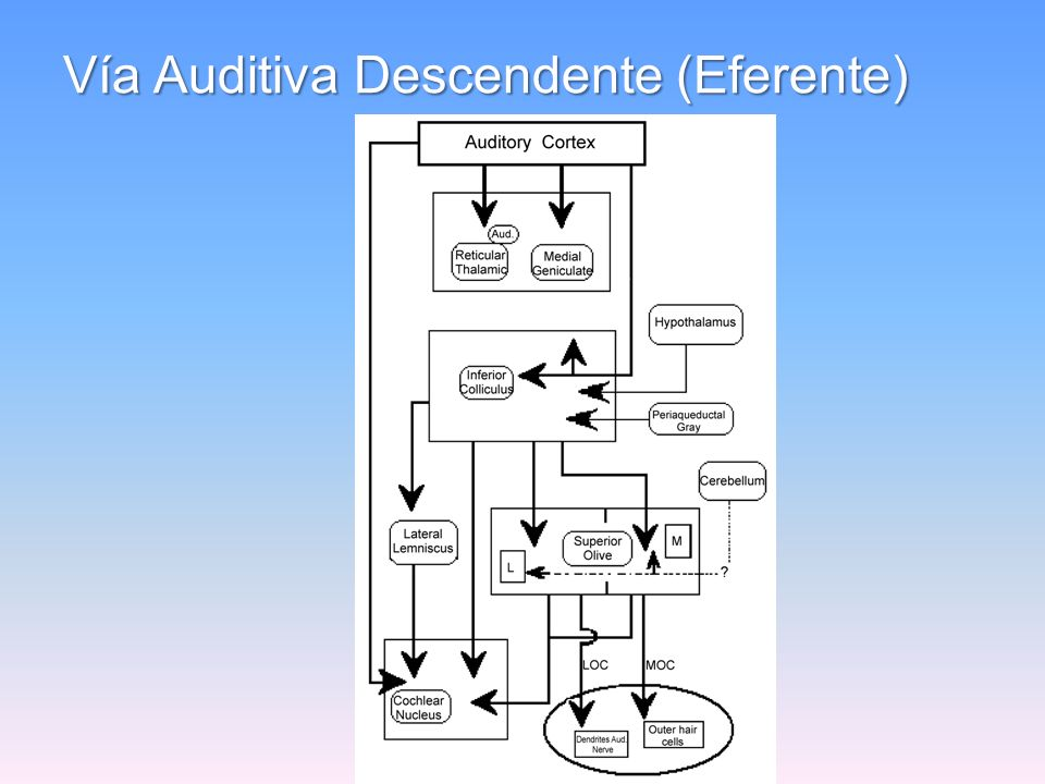 Vía Auditiva Descendente (Eferente)