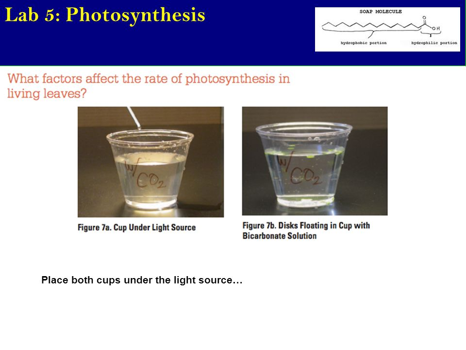 Lab 5: Photosynthesis Place both cups under the light source…