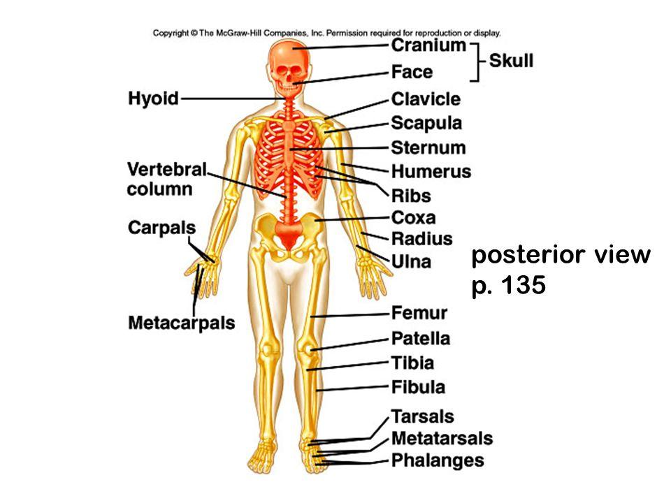posterior view p. 135