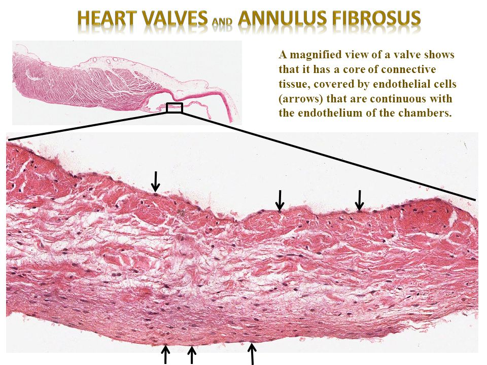 Heart valves and annulus fibrosus