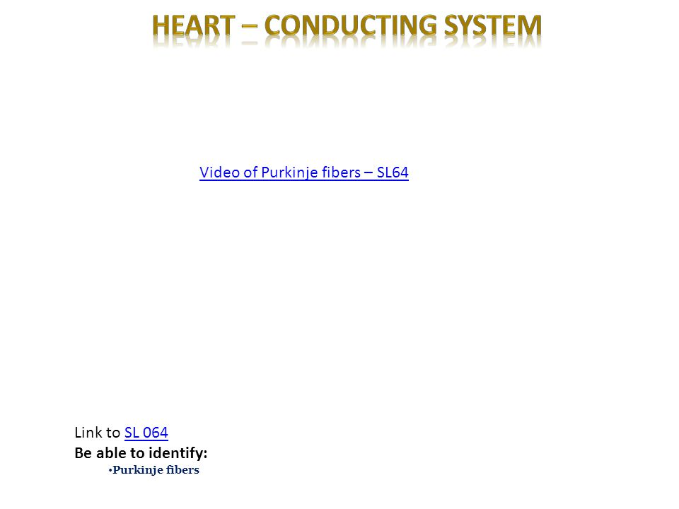 Heart – conducting system
