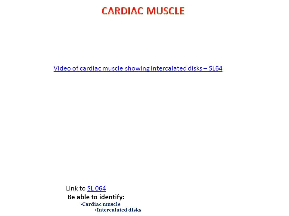 CARDIAC MUSCLE Video of cardiac muscle showing intercalated disks – SL64. Link to SL 064. Be able to identify: