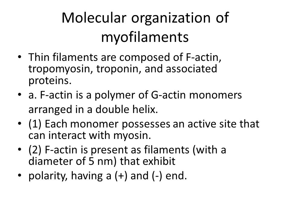 Molecular organization of myofilaments