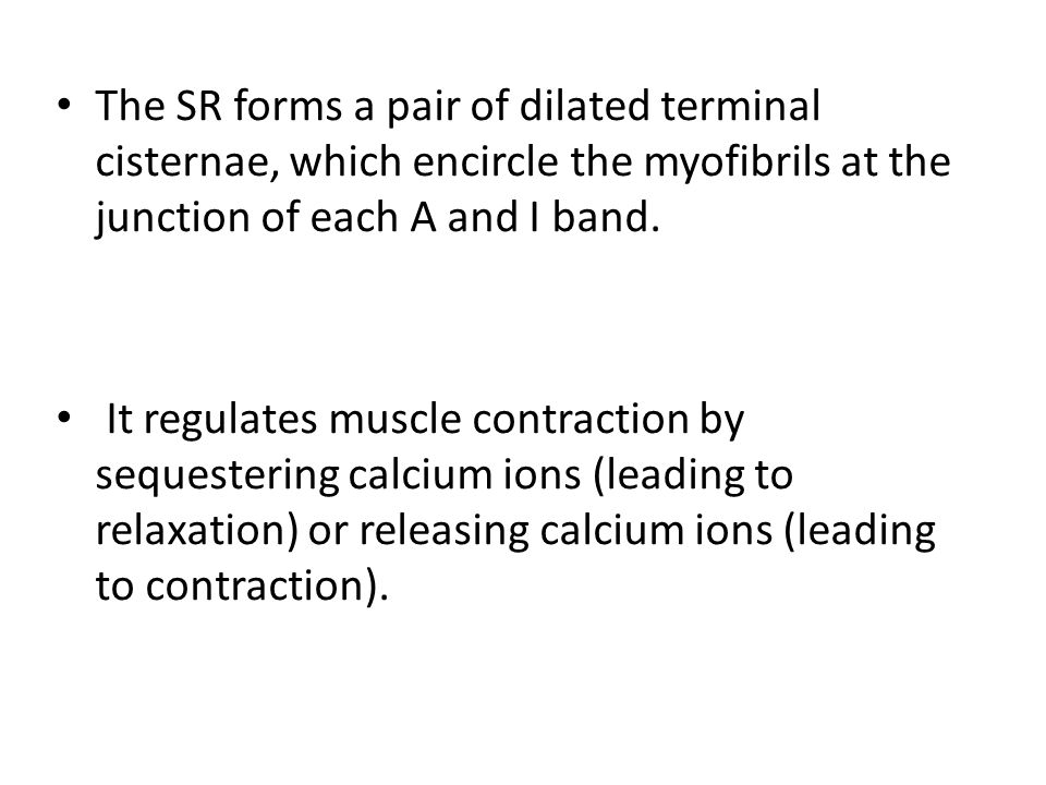 The SR forms a pair of dilated terminal cisternae, which encircle the myofibrils at the junction of each A and I band.