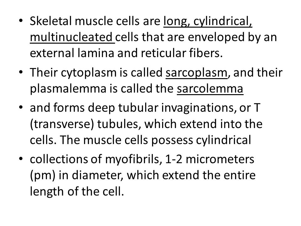 Skeletal muscle cells are long, cylindrical, multinucleated cells that are enveloped by an external lamina and reticular fibers.
