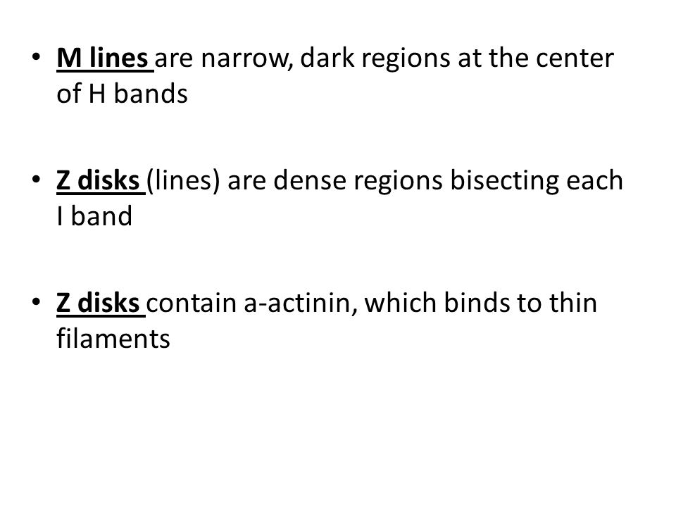 M lines are narrow, dark regions at the center of H bands