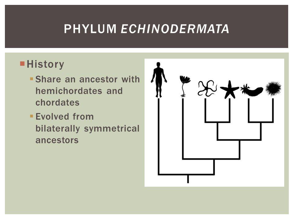 Phylum Echinodermata History