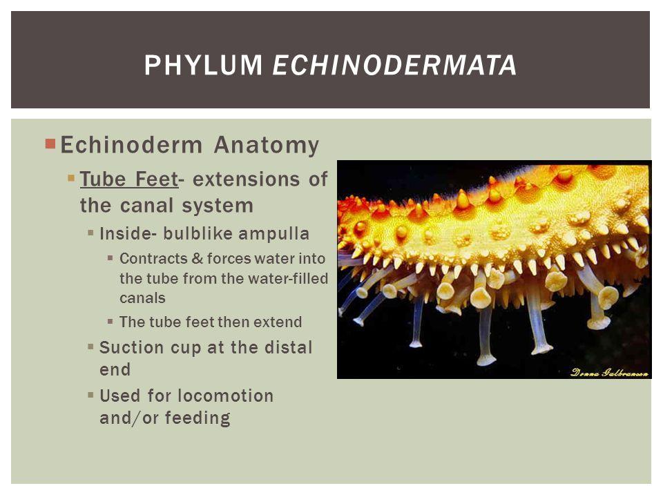Phylum Echinodermata Echinoderm Anatomy