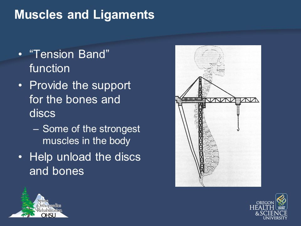 Muscles and Ligaments Tension Band function