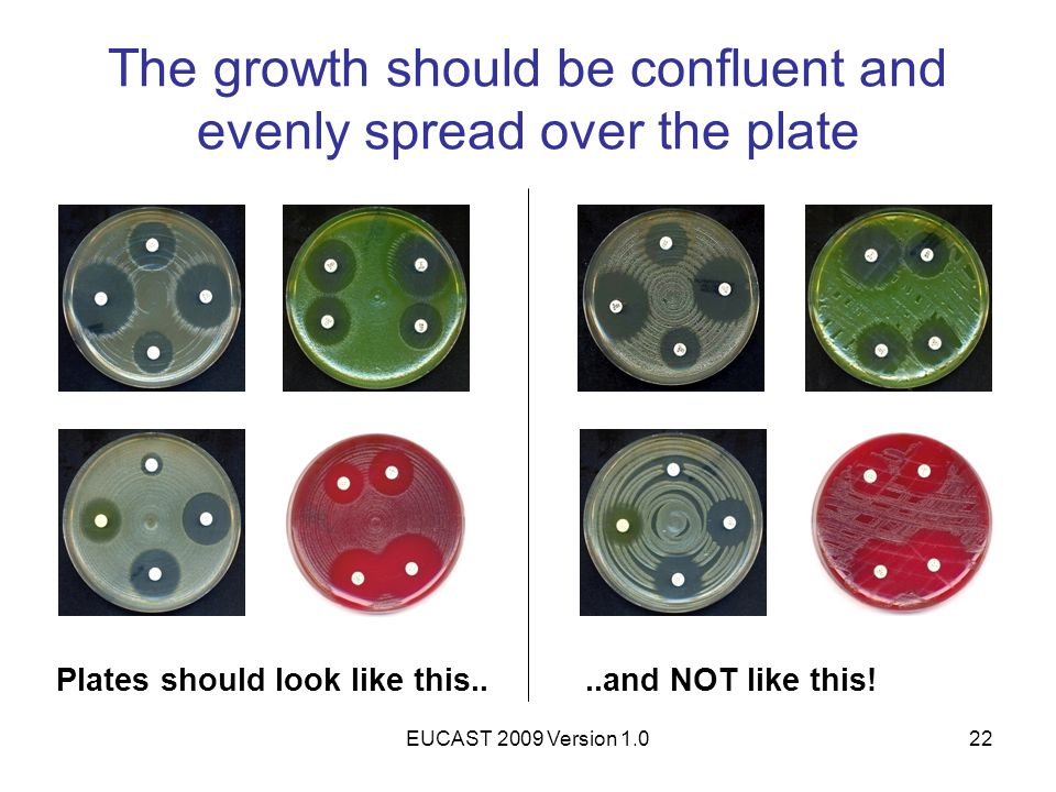 The growth should be confluent and evenly spread over the plate