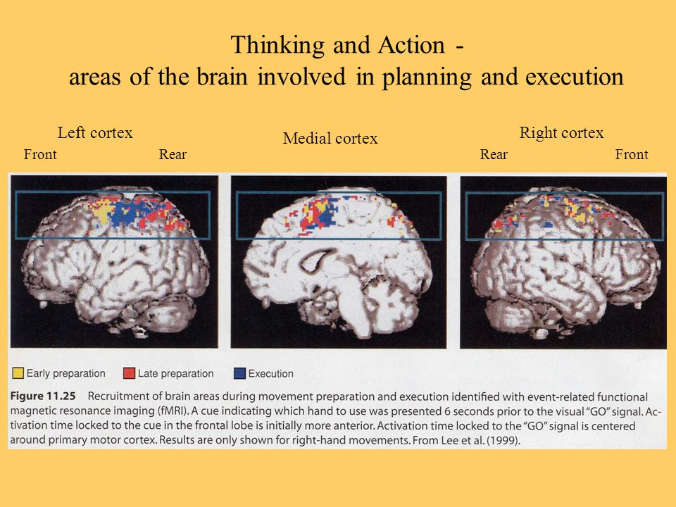 Thinking and Action - areas of the brain involved in planning and execution