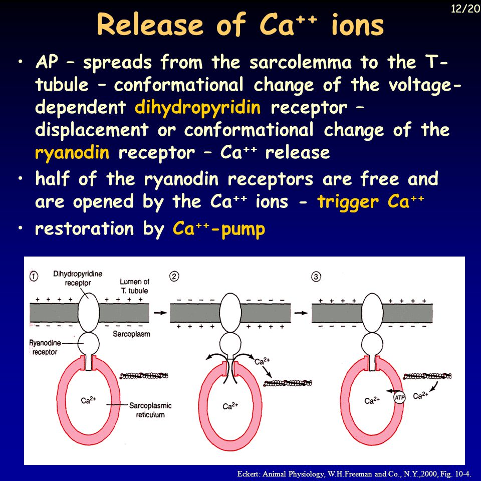 Release of Ca++ ions 12/20.