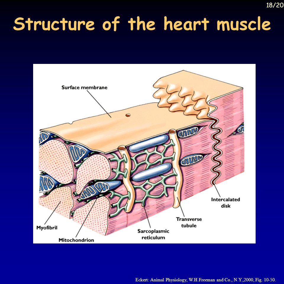 Structure of the heart muscle