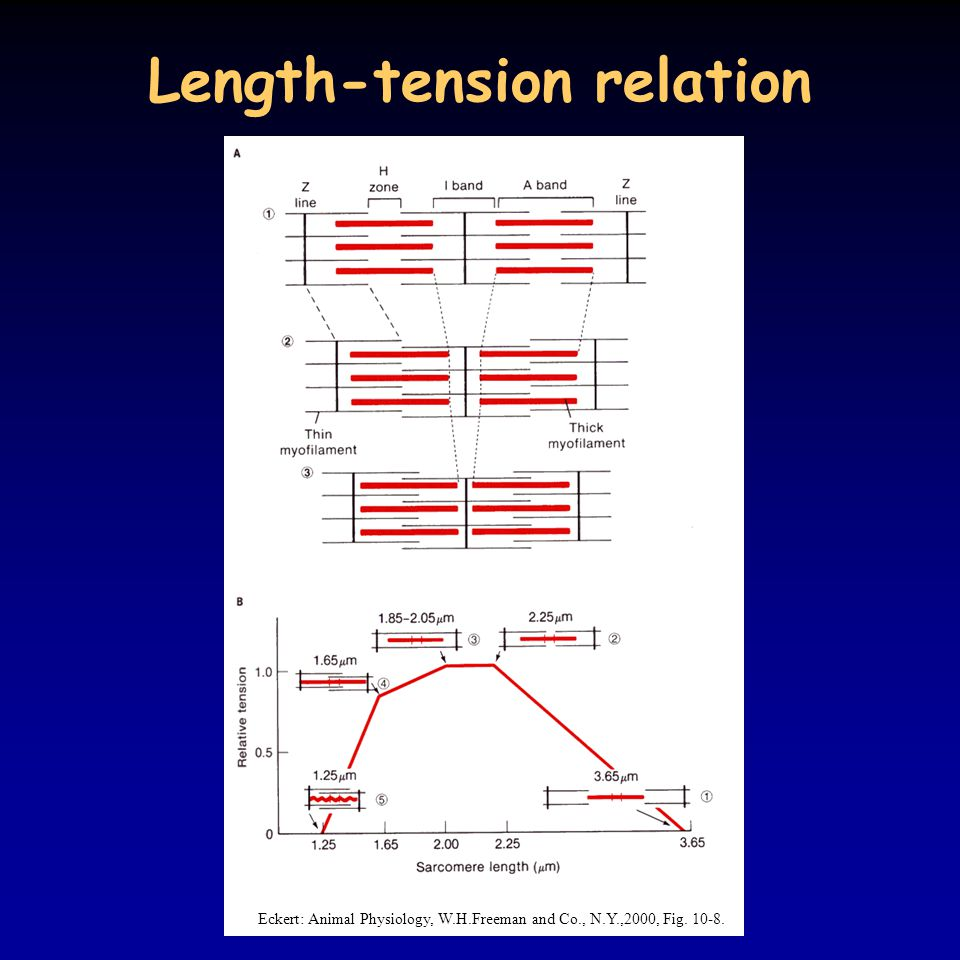 Length-tension relation
