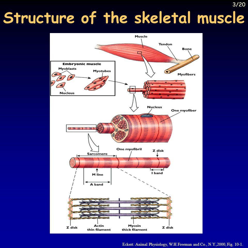 Structure of the skeletal muscle