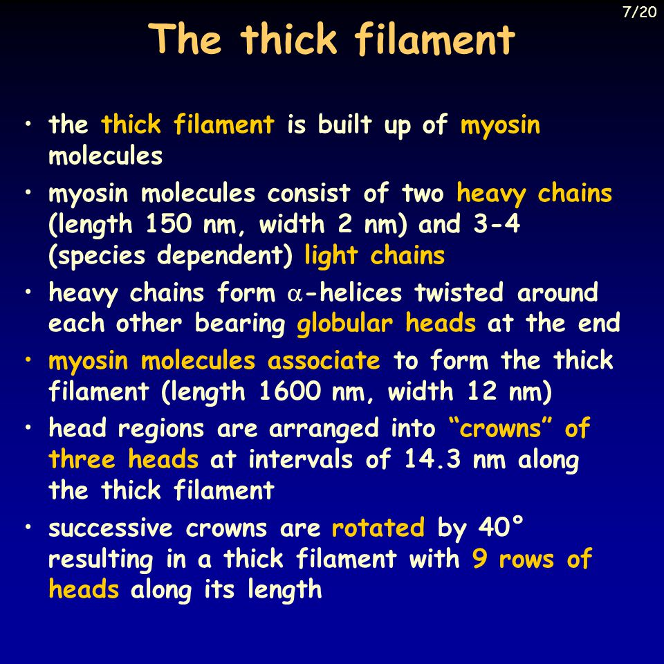 The thick filament the thick filament is built up of myosin molecules