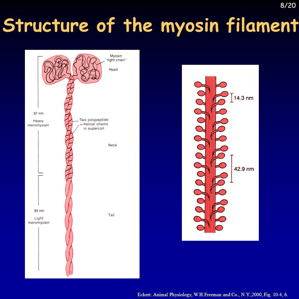 Structure of the myosin filament