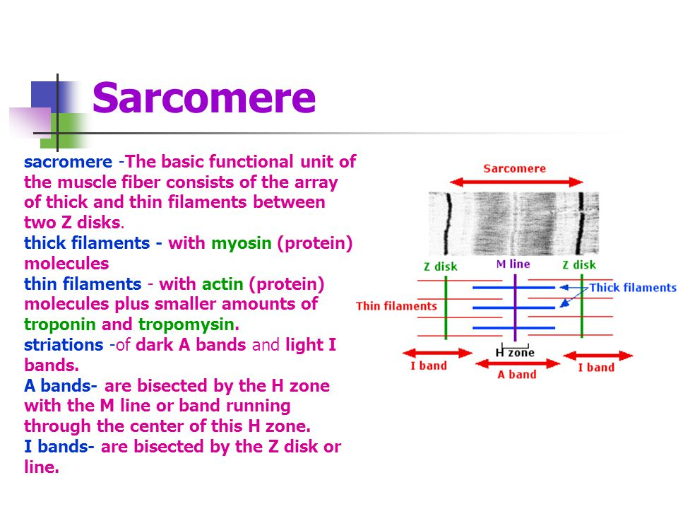 Sarcomere sacromere -The basic functional unit of the muscle fiber consists of the array of thick and thin filaments between two Z disks.
