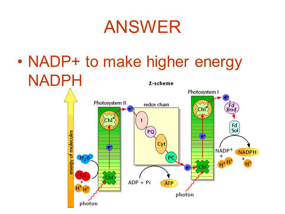 ANSWER NADP+ to make higher energy NADPH