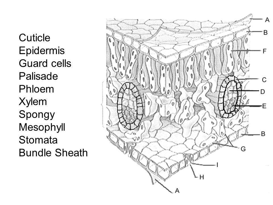 Cuticle Epidermis Guard cells Palisade Phloem Xylem Spongy Mesophyll Stomata Bundle Sheath