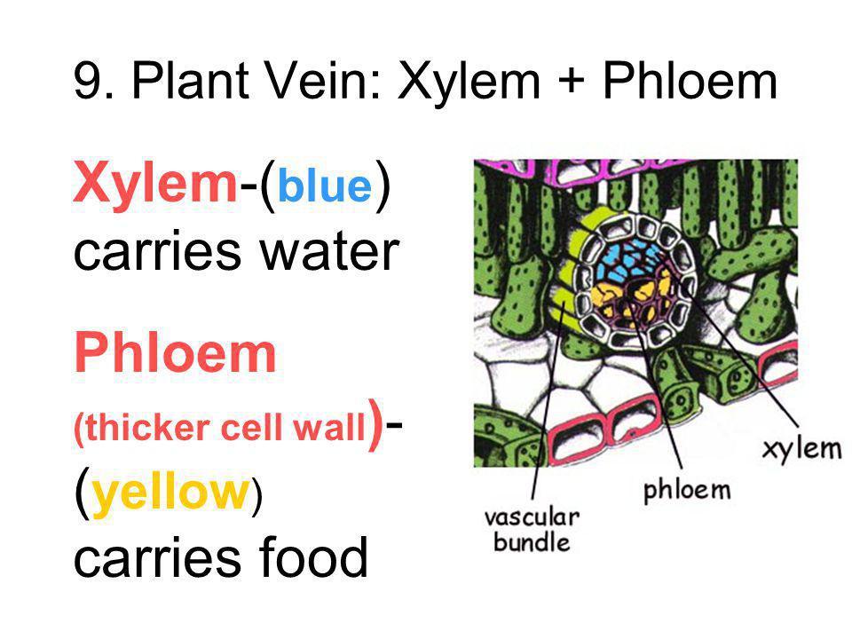 9. Plant Vein: Xylem + Phloem