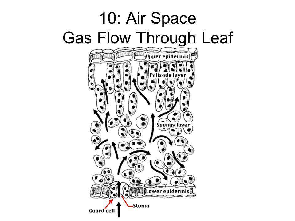 10: Air Space Gas Flow Through Leaf