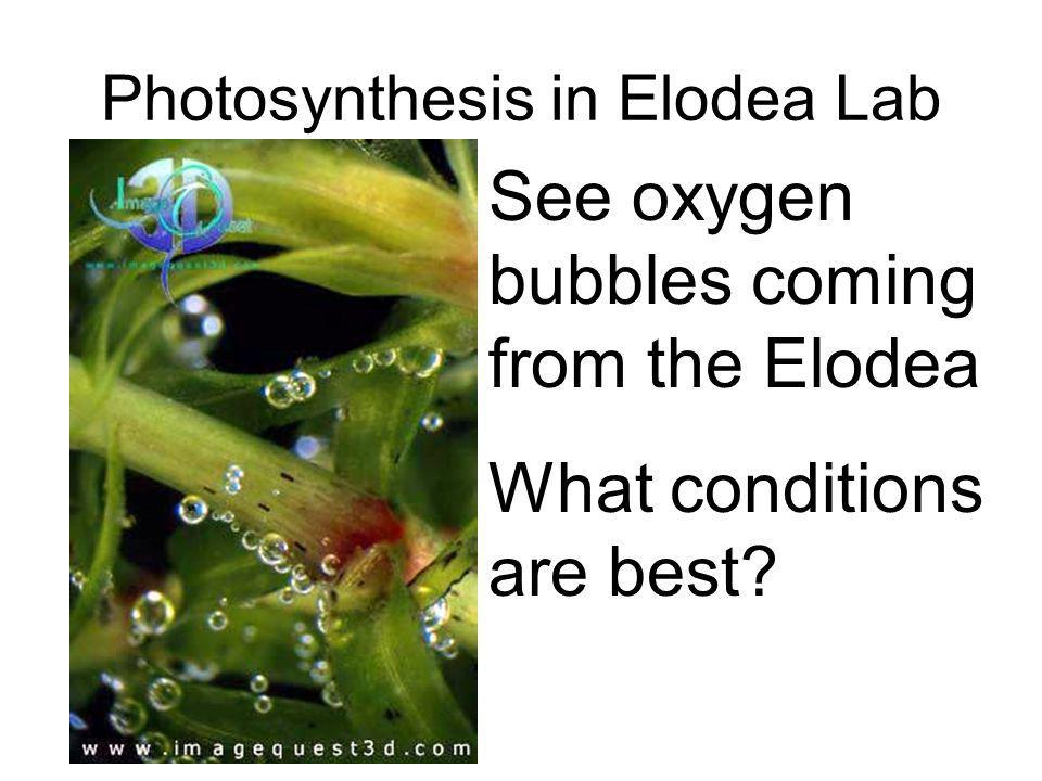 photosynthesis in elodea lab Elodea & photosynthesis photosynthesis is the process by which green plants and some other organisms use sunlight to synthesize nutrients from carbon dioxide and water.