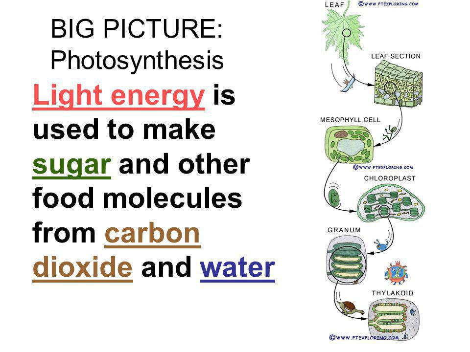 BIG PICTURE: Photosynthesis