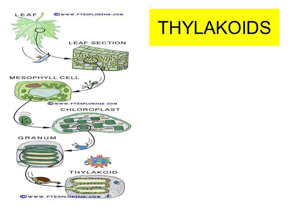 relationship between grana thylakoids and chloroplast