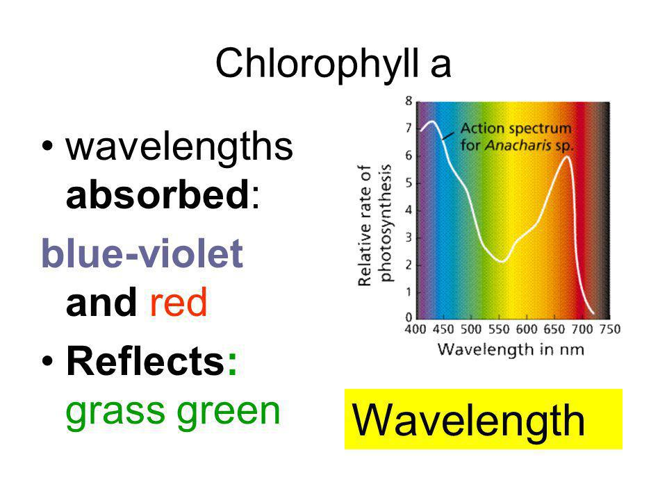Wavelength Chlorophyll a wavelengths absorbed: blue-violet and red