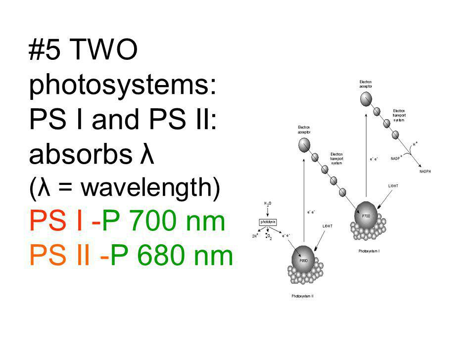 #5 TWO photosystems: PS I and PS II: absorbs λ (λ = wavelength) PS I -P 700 nm PS II -P 680 nm