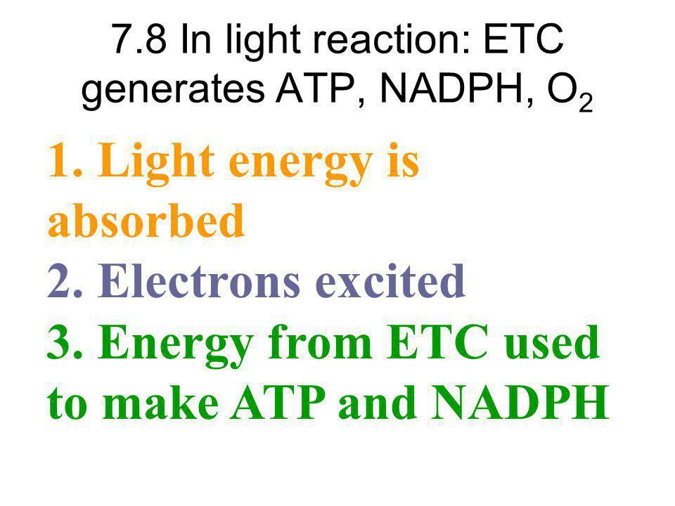 7.8 In light reaction: ETC generates ATP, NADPH, O2