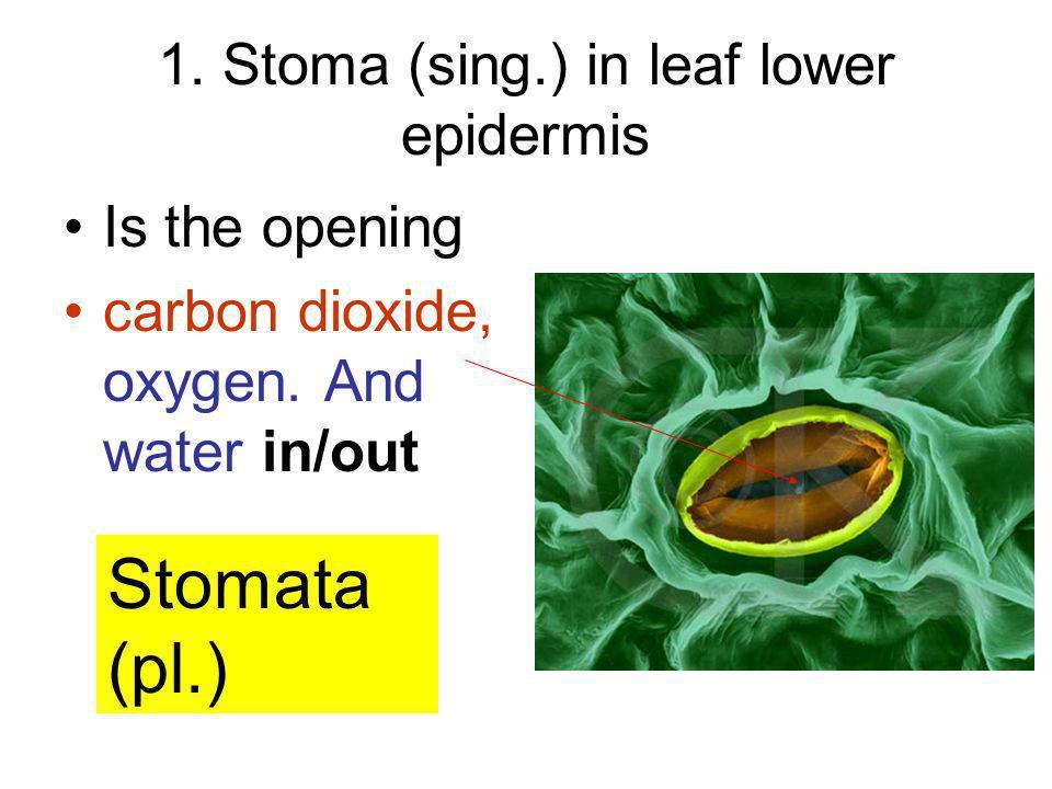 1. Stoma (sing.) in leaf lower epidermis